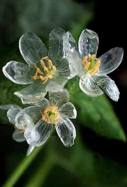 """Diphylleia grayi"" (Skeleton flower), Gray's Diphylleia or Umbrella Leaf ~ The petals become transparent with the rain.: Beautiful Flower, Petals Turn, Diphylleia Grayi, Skeletons, Skeletonflower, Flowers, Garden"
