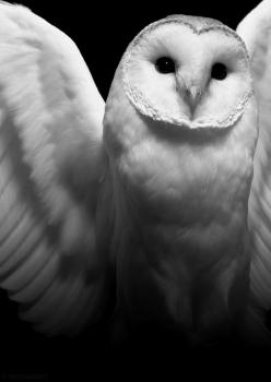 """Find the Right recipient without an Address."" What a Romantic Story. 14/2: Animals, Haunting Photo, Beautiful, White Owls, Snow Owl, Harry Potter, Snowy Owl, Barn Owls"