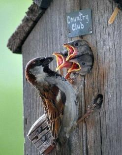 """How many times do I have to tell you...breakfast is the most important meal of the day...next time get up when I call you!"": Birdhouses, Animals, Birdie, Country Club, Beautiful Birds, Bird Houses, Baby Birds, House Sparrow"