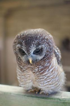 """* * """" I shoulda saved some pieces of me cracked egg shell from whenz I entered de world az a memorium."""": Woodford Owl, Baby Owl, Dwalshphotography Co Uk, Owl Obsession, Beautiful Birds, Owls, Animal"""