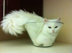 """If I fits in it, I sits in it."": Cats, Fit, Animals, Cat Bowl, Funny, Crazy Cat, Kitty, Bowls, White Cat"