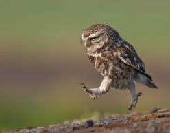 """just put one foot in front of the other, and soon you'll be walkin' out the..."" hey, wait, you've got wings!: Photos, Little Owls, Animals, Austin Thomas, Nature, Funny, Things, Walk, Birds"