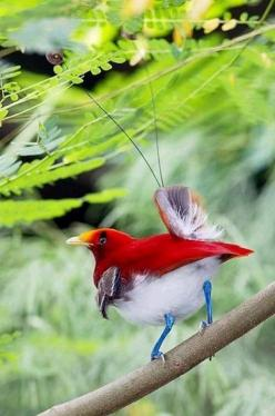 """king bird of paradise (This looks like it has a butterfly sitting on it).  (photo via cinda.hubpages)"": Exotic Birds, Poultry, Beautiful Birds, Bird Of Paradise, Animal"