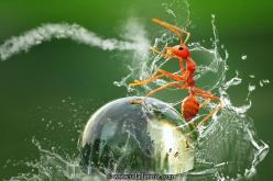 """Kungfu Ant"" by Uda Dennie. ... A red ant takes a surprise ride on the back of a water droplet.: Animals, Nature, Macro Photography, Funny, Ants, Waterbending Ant, Kungfu Ant"