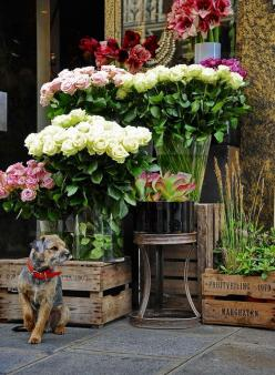 """M. Claude watches all the people walk by on Rue du Sommerard in front of the flower shop of his owner. When anyone stops to admire or select some flowers, little Claude dashes inside and makes a soft whuff to alert the proprietor. It is very funny to"