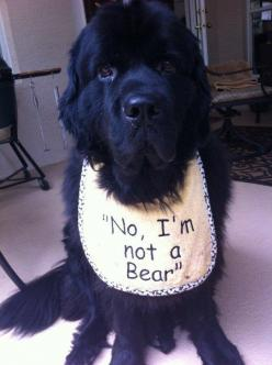 """No, I'm not a Bear!"" - I would be SO rich if I had a $1 every time I was asked this question.: Newfoundland Dogs, Newfoundland Dog Puppy, Time, Animals, I M, Baby Bears"