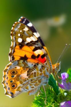 """NYMPHALIDAE"" by Konstantine Deryabkin: Beautiful Butterflies, Flutterby, Photo, Nymphalidae Butterfly, Animal"