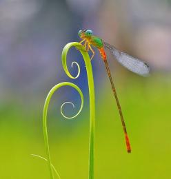"""""""Perch"""" by Nordin Seruyan.....actually it looks more like a dragonfly....: Nordin Seruyan, Photos, Animals, Nature, Insects, Dragonfly, Dragonflies"""