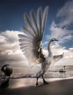 """""""Spreading My Wings!""""  A Superb Photograph of A Swan!                                                    (Via: dontcallmebetty - Imgend.): Amazing, Photos, Animals, Nature, Wings, Beautiful Birds, Photography"""