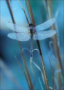 """The Dragon-fly"" Today I saw the dragon-fly Come from the wells where he did lie. An inner impulse rent the veil Of his old husk: from head to tail Came out clear plates of sapphire mail. He dried his wings: like gauze they grew; Thro' crofts and"