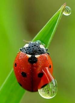 """The Tear of a Ladybug"": Animals, Dew Drop, Ladybugs, Ladybird, Dewdrop, Lady Bugs, Water Drop"