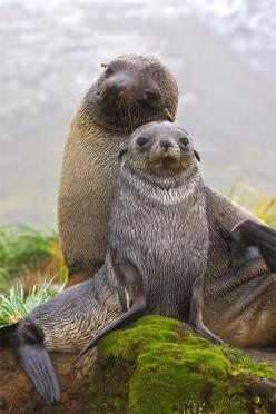 """""""We're ready for our closeup!"""" How picture perfect is this pair of Antarctic fur seals from Fortuna Bay, South Georgia? (photo: Australian Geographic): Animals, Critter, Fur Seals, Sea Lions, South Georgia, Photo"""