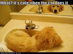 """What? It's cute when the cat does it!"" ~ Dog Shaming shame - Golden Retriever - Too cute!: Cats, Funny Animals, Dogs, It S, Golden Retrievers, Pet, Funny Stuff, Puppy"