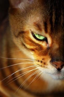 """♥""""Whereas owners of cats are compelled to realize that, if you provide them with food and water and shelter and affection, they draw the conclusion that they are the gods."""" Christopher Hitchens: Kitty Cats, Beautiful Cat, Cat Face, Kitten, Animals"""