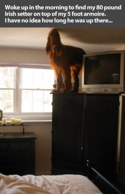 """Woke up in the morning to find my 80 pound Irish Setter on top of my 5 foot armoire. I have no idea how long he was up there."" ~ Dog Shaming shame - I think this is a dogs version of a joke since they can't speak: Animals, Giggle, Cat, Dogs,"