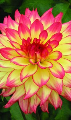 'Candle Lite' Dahlia | K Connell Dahlias: Beautiful Flower, Dahlias, Gorgeous Flower, Flowers Garden, Pretty Flower, Dalia Flower, Colorful Flower Tattoo