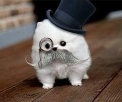 'Ello sir!: Animals, Dogs, Pet, Funny, Adorable, Puppy, Things, Mustache
