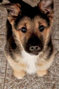 5 Incredible Things your Dog can sense about you: Germanshepherd, German Shepards, Animals, Dogs, Puppys, German Shepherd Puppies, German Shepherds, Eye