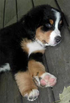 5 shortest living dog breeds | Awww: Bernese Mountain Dogs, Animals, Pet, Puppys, Puppy, Box, Baby