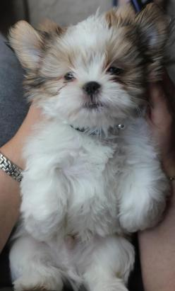 5 Things you didn't know about your dog | The Pet's Planet: Shihtzus, Box Market, Pet, Shitzu, Puppys, Shih Tzu S, Shih Tzus, Animal