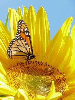 50 Beautiful Photographs Found On Pinterest | Gallery Heart: Beautiful Butterflies, Monarch Butterfly, Color, Sunflowers, Yellow Flower, Animal