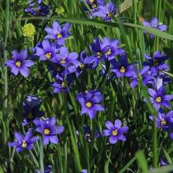 50+ Blue Eyed Grass Seeds , Under The Sun Seeds: Sun Seeds, Little, Garden Stuff, Grass Sisyrinchium, Grass Seeds