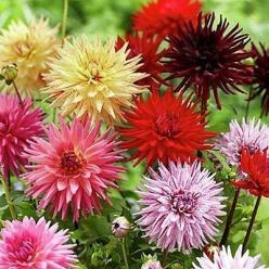 50+ Dahlia Cactus Mix Flower Seeds , Under The Sun Seeds: Dahlia Flowers, Dalhia Flower, Sun Seeds, Dahlias, Flower Seeds