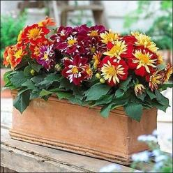 50+ Dahlia Dandy Mix Flower Seeds , Under The Sun Seeds: Mix Produces, Sun Seeds, Dahlia Mixture, Dandy Mix, Dahlias, Flower Seeds, Dahlia Dandy