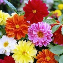 50+ Dahlia Unwins Bedding Mix Flower Seeds , Under The Sun Seeds: Dahlia Flowers, Sun Seeds, Dahlias, Dahlia Unwins Bedding Mix1 Jpg, Gardening, Flower Seeds, Bedding Dahlia