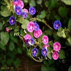 50+ Morning Glory Ensign Mix Flower Seeds , Under The Sun Seeds: Morning Glories, Sun Seeds, Ensign Mix, Dwarf Morning, Glory Ensign, Flower Seeds