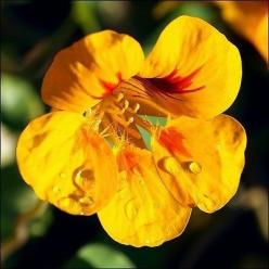 50+ Nasturtium Jewels Mix Flower Seeds , Under The Sun Seeds: Nasturtium Flowers 8, Sun Seeds, Nasturnium Flowers, Nasturtium Jewels, Jewels Mix, Beautiful Flowers, Nasturtium Flower Pictures, Flower Seeds