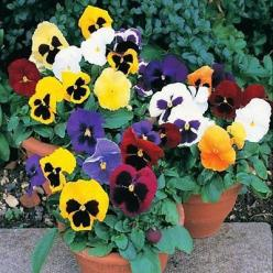 50+ Pansy Viola Ravel Mix Flower Seeds , Under The Sun Seeds: Seeds Pansy, Sun Seeds, Flowers Plants, Viola Ravel, Pansies, Flower Seeds, Ravel Mix