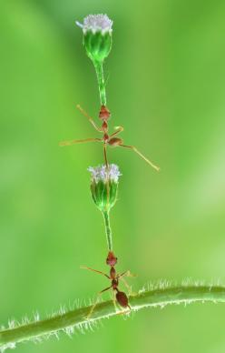 "500px / Photo ""acrobat"" by chandra wiratno: Photograph Acrobat, Amazing Pictures, Ants Ants, Acrobatic Ants, Animalia Insectomania, Insects Bugs, Chandra Wiratno, Awesome Bugs"