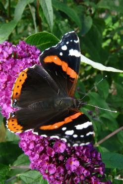 54. Red Admiral (Vanessa atalanta) - a species of butterfly in the family rusałkowatych (Nymphalidae), including the occurrence of reach Palearctic and North America. One of the most beautiful butterflies Polish.: Butterfly, Animal Inspiration, Butterfly