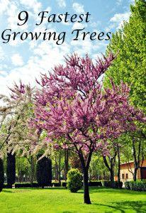 9 Fastest growing trees: Landscaping Tree, Growing Trees, Living Privacy Fence, Landscaping Idea, Fast Growing Tree