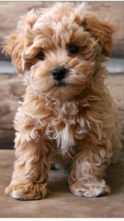 9928c5973e0909d493f4b0a6b47816c1.jpg 640×1,136 pixels: Dogs Puppies, Dogs Maltipoo, Box, Teddy Bear Dog, Dogs ️, Friend, Poodle Puppies