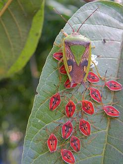 "A ""giant shield bug"" (Tessaratomidae) and her brood of nymphs.   Photo by S Frazier near Jayapura Indonisia.: Shieldbug, Beautiful Bugs, Nature, Shield Bugs, Giant Shield, Baby, Insects, Animal"