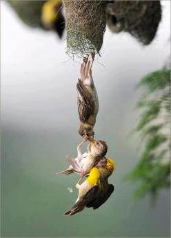 A Baby Bird Being Saved ~ After Falling From The Nest ~ By BOTH Parent Birds.: Parents, Animals, Quotes, Photo, Birds