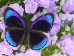 A beautiful Butterfly with an exquisite-design and shades of black, brown, blue and purple colors ... Wow! Image by Darrell Gulin.: Beautiful Butterflies, Darrell Gulin, Lavender Flowers, Blue, Color, Animal