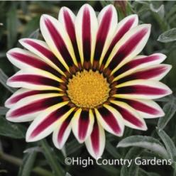 """A beloved annual from South Africa, these hybrid Gazania bring pinwheels of vivid color to hot, sunny pots and beds. These tidy, mounding plants are everblooming and bring color to your yard even in the hottest """"dog days"""" of late summer. 5"""" de"""