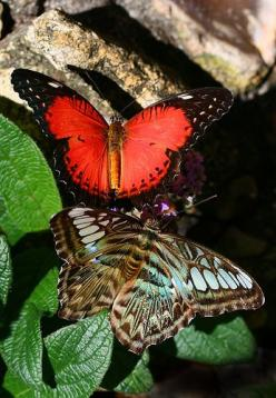 A blue-phase clipper hangs out with a red (orange) lacewing: Beautiful Butterflies, Blue Butterflies, Butterfly, Blue Butterfly, Blue And Orange, Blue Phase Clipper, Red Orange, Beautiful Nature