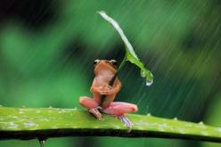 A frog hiding from the rain.: Rain Leaf, Darn Rain, Rain He, Cute Frogs, Pelting Rain, Amphibians Etc, Rain Awww, Hate Frogs