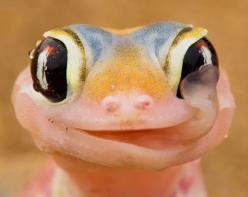 A gecko licks the morning dew off its eyeballs. This gecko is found on coastal sand dunes in Namibia. The nocturnal reptiles collect water on their eyeballs in the early morning when a mist bank descends as cool coastal air hits warm desert air. Then they