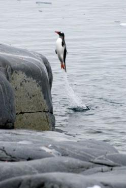 "A Gentoo Penguin: ""Springing From The Water!"" (Photo By: Christine Richardson.): Animals, Super Penguin, Funny Stuff, Penguins, Funnies, Things, Smile, People"