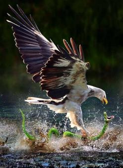 A hawk catching a snake.: Amazing, Photos, Animals, Nature, Eagles, Snakes, Birds, Photography