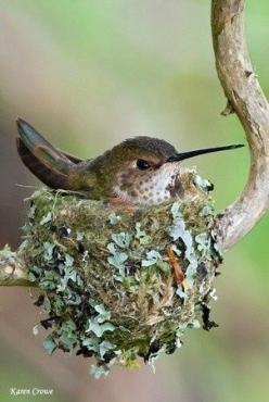 A Hummingbird ~ On Her Nest (Photo By: Karen Crowe.): Humming Birds, Humming-Bird, Bird Nests, Beautiful Birds, Hummingbirds, Hummer, Animal