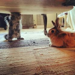 A kitten animatedly explaining her opinions to a disinterested rabbit. | 50 Animal Pictures You Need To See Before You Die: Cats, Disinterested Rabbit, Stuff, Adorable Animals, Kittens, Funny Animal, Bunnies, Kitty