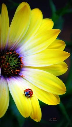 A ladybug on an African Daisy: Primary Color, African Daisy, Beautiful Flowers, Ladybugs, Lady Bugs, Pretty Flower, Yellow Flower