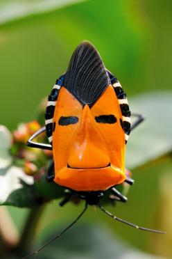 A little #bug humor - can't help but chuckle at this guy! Inckurei Face Bug (catacanthus incarnatus): Interesting Insect, Bugs, Guy, Man Faced, Man Faces, Beetle, Animal