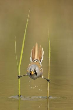 A male bearded reedling catches a cranefly. This species is a master of balance and the bird was spotted by Dutch photographer Edwin Kats using two stems to position itself over a shallow stream. He noticed the small bird - also know as a bearded tit - lo